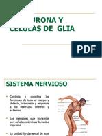 la neurona     y  celula  de   glia