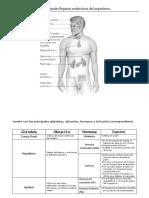 Sintesis sistema endocrino