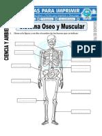 Ficha-de-Sistema-Oseo-y-Muscular-para-Segundo-de-Primaria