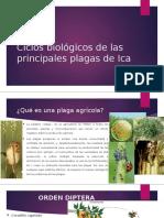 Ciclos biológicos de las principales plagas de Ica