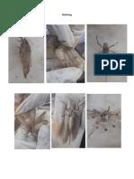 sph belalang udang ascaris