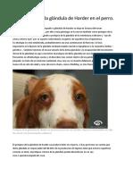 Prolapso de la glándula de Harder en el perro