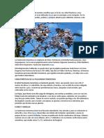 Paulownia tomentosa.docx