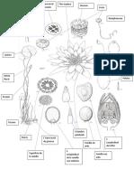 Morfologia plantas Nympheaceae.docx