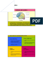 Lóbulos del Cerebro.docx