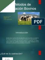 Métodos de Castración Bovinos Andres COMPLETO
