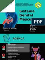 Sistema Genital Masculino anato.pptx