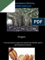 Morfologia da Raiz.pdf