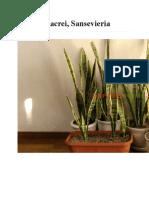planta limba soacrei