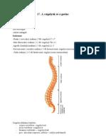 17. A csigolyák és a gerinc
