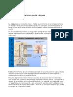 Anatomía de la tráquea