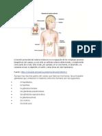 El sistema endocrino BORRADOR