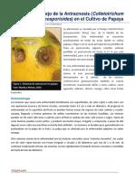 50. Manejo de la Antracnosis (Colletotrichum gloesporioides) en el Cultivo de Papaya