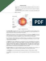 Anatomía-del-Ojo