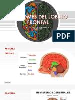 SINDROMES DEL LOBULO FRONTAL