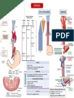 Esófago. Anatomía