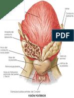 Próstata. Vista posterior (Netter 7ma ed. HD Traducido)