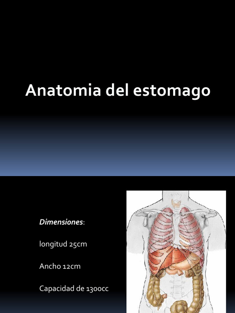 anatomia estomago