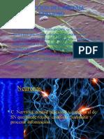 Evolucion Del Sistema Nervioso