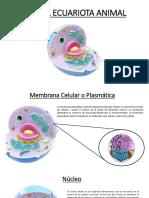 Presentación Celula Eucariota