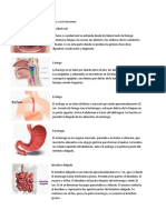 Partes del sistema digestivo y sus Funciones