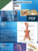 Sistema reproductor masculino (1).odp