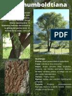 Salix humboldtiana.pdf