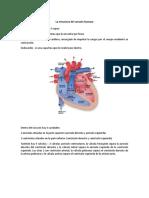 funciones del corazon y los pulmones