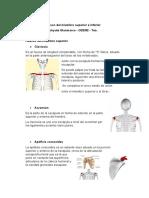 Huesos del miembro superior e inferior