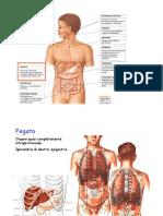 Lezione 7 Fegato_ pancreas