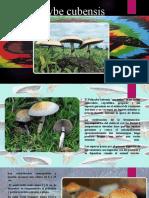 Psilocybe-cubensis.pptx