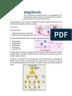 cienciaa espermatogenesis