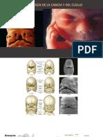 embrio cabeza y cuello