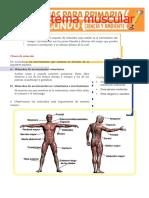 Sistema-Muscular-para-Segundo-de-Primaria.docx