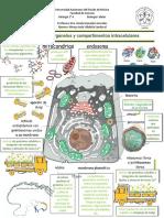 Infografía Organelos y compartimentos intracelulares.pdf