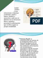 CO El Cerebro Triuno