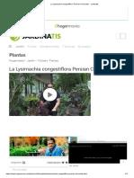 """La Lysimachia congestiflora """"Persian Chocolate"""" - Jardinatis"""