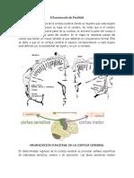 ORGANIZACIÓN FUNCIONAL DE LA CORTEZA CEREBRAL.docx