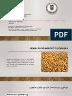 SEMILLA DE MONO Y DICOTILEDONEAS 2