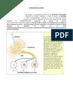 205421_15_vJpwVI1R_potencialdeaccion.doc