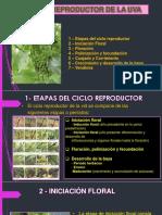 Ciclo_Reproductor_de_la_Vid
