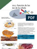 Estructura y función de las partes de la CELULA.pptx
