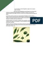 Euglenoides y dinoflagelados