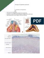 Histología de las glándulas suprarrenales