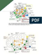 Interaccion redes corticales LECTURA