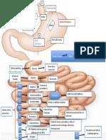 Hormonas del estómago e intestino delgado.