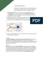 taller del sistema nervioso-convertido