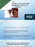 Estructura y Función Del Exterior Del Ojo y La Cornea