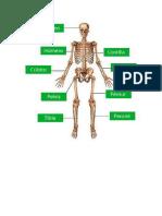 Sistema oseo humano 1°