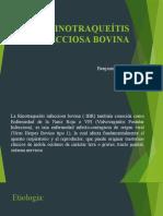 RINOTRAQUEÍTIS INFECCIOSA BOVINA (1)